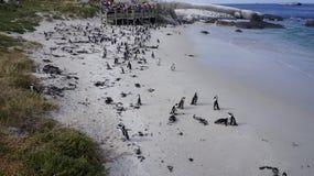 群企鹅,开普敦 图库摄影
