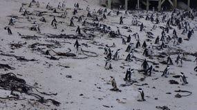 群企鹅,开普敦 库存照片
