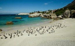 群在冰砾的非洲企鹅靠岸,南非 免版税库存照片