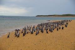 群在海滩的染色鸬鹚 免版税库存图片
