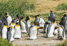 群在铁拉el开火的企鹅国王在智利 免版税库存图片