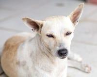离群奶油和基于瓦片的布朗杂种狗 免版税库存照片