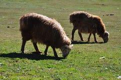 群山羊绵羊 免版税库存图片