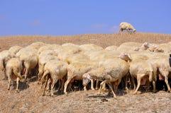 群意大利绵羊 免版税库存图片