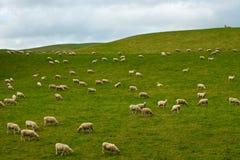 群新的绵羊西兰 免版税库存照片