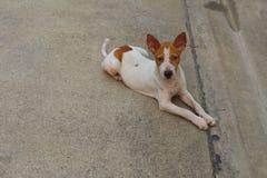 离群无家可归的泰国狗 免版税库存图片