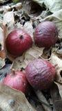 群无花果果子和叶子在泰国 免版税库存照片
