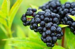 群果子黑接骨木浆果在太阳光接骨木花老黑的庭院里 长辈,黑长辈,欧洲黑接骨木浆果背景 图库摄影