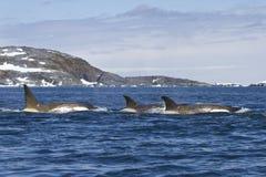 群海怪或虎鲸游泳 免版税库存图片
