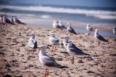 群海鸥 免版税库存照片