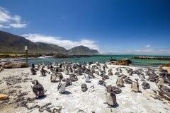 群的全景在石点自然保护的企鹅在贝蒂在开普敦附近的` s海湾 图库摄影