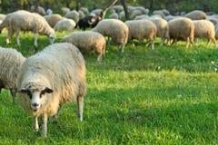 群绵羊 免版税图库摄影
