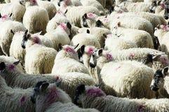 群绵羊 免版税库存照片