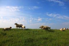 群绵羊 库存照片