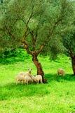 群绵羊 免版税库存图片