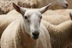 群绵羊 图库摄影