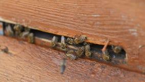 群集和飞行在他们的蜂箱附近的蜂蜜蜂 影视素材