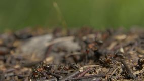 群集在他们的蚁丘附近的特写镜头野生蚂蚁 蚁丘在干燥叶子中的森林里 工作蚂蚁的昆虫 影视素材