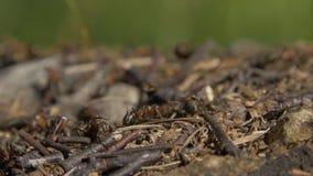 群集在他们的蚁丘附近的特写镜头野生蚂蚁 蚁丘在干燥叶子中的森林里 工作蚂蚁的昆虫 库存照片