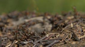 群集在他们的蚁丘附近的特写镜头野生蚂蚁 蚁丘在干燥叶子中的森林里 工作蚂蚁的昆虫 免版税库存图片