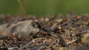群集在他们的蚁丘附近的特写镜头野生蚂蚁 蚁丘在干燥叶子中的森林里 工作蚂蚁的昆虫 免版税图库摄影