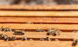 群集在蜂窝框架的蜂 图库摄影