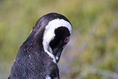 群非洲公驴企鹅 库存照片