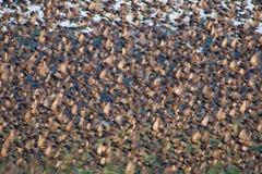 群飞行starlings 库存照片