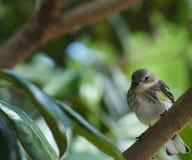2群鸣鸟黄色 库存图片