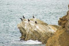 群鸬鹚(在普遍的葡萄牙语的Galhetas)在Baleal村庄, Peniche,莱利亚区,葡萄牙的一个岩石 动物学 免版税库存图片