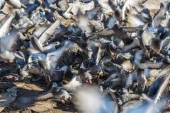 群鸽子离开 库存照片