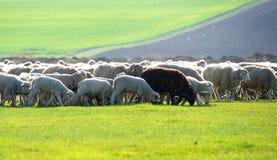 群绵羊有一只黑山羊作为他们的家庭的部分 库存照片