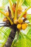 群freen垂悬在棕榈树的椰子特写镜头 免版税库存照片