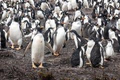 群Gentoo企鹅-福克兰群岛 免版税库存图片