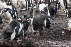 群Gentoo企鹅-福克兰群岛 库存图片