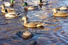 群jf在池塘的鸭子游泳 库存照片