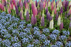 羽扇豆和勿忘草在五颜六色的显示 库存图片