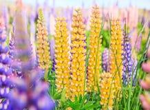 羽扇豆在特卡波湖风景,新西兰附近的花田看法  各种各样,五颜六色的羽扇豆在盛开开花有背景 库存照片