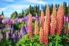 羽扇豆在特卡波湖风景,新西兰附近的花田看法  各种各样,五颜六色的羽扇豆在盛开开花 库存图片