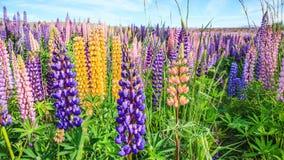 羽扇豆在特卡波湖风景,新西兰附近的花田看法  各种各样,五颜六色的羽扇豆在与backgroud的盛开开花 图库摄影