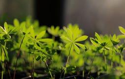 年轻羽扇豆属植物 免版税库存图片