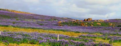 羽扇豆属的紫色领域,冰岛高地,路35 免版税库存照片
