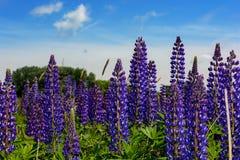 羽扇豆属,羽扇豆,与桃红色紫色和蓝色花的凶猛领域 库存照片