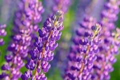 羽扇豆属,羽扇豆,与桃红色紫色和蓝色花的凶猛领域 图库摄影