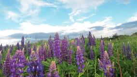 羽扇豆的领域与雨珠下落露水的在叶子和紫色花在雨以后在太阳天空背景 自然 影视素材