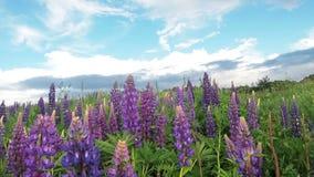 羽扇豆的领域与雨珠下落露水的在叶子和紫色花在雨以后在太阳天空背景 自然 股票视频
