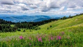 羽扇豆花在高高山草甸 库存图片