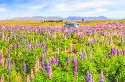 羽扇豆领域田园诗全景风景视图在特卡波湖,新西兰附近的 美丽,五颜六色的羽扇豆在夏天开花开花 免版税库存图片