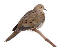 羽毛出错其保留对温暖的turtledove 库存图片