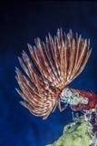 羽毛喷粉器蠕虫 免版税库存图片